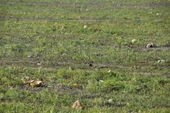 An abandoned field of watermelons and melons. Rotten watermelons. Remains of the harvest of melons. Rotting vegetables on the fiel. D Stock Images