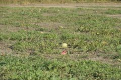 An abandoned field of watermelons and melons. Rotten watermelons. Remains of the harvest of melons. Rotting vegetables on the fiel. D Royalty Free Stock Image
