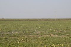 An abandoned field of watermelons and melons. Rotten watermelons. Remains of the harvest of melons. Rotting vegetables on the fiel. D Stock Photos