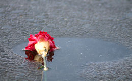 Abandoned Flower. A flower is left to whither away on a frozen pond Royalty Free Stock Image