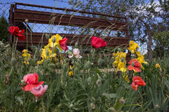 ABANDONED GARDEN. With blooming poppy flowers. & x28; Papaver Rhoeas & x29 Stock Images