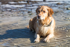 Abandoned Golden Retriever Dog Stock Photo