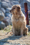 Abandoned Golden Retriever Dog Royalty Free Stock Photo