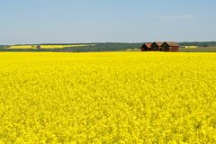 Abandoned granaries in canola field Stock Photo