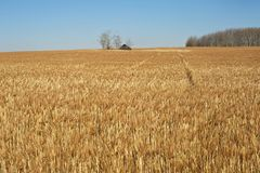 Abandoned house and a field of ripe wheat Royalty Free Stock Images
