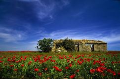 Abandoned house in the middle of a field of poppie Stock Images