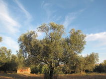Abandoned house among olive trees in Canino, Italy Stock Image