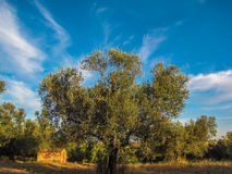 Abandoned house among olive trees in Canino, Italy Stock Images