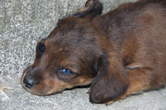 Abandoned Little Puppy. Abandoned  Little  Brown Puppy Closeup Royalty Free Stock Photography