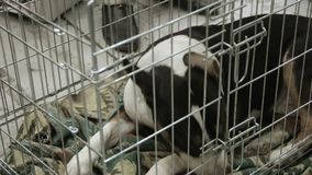 Abandoned and miserable Bull Terrier puppy waiting for adopters at dog shelter. Stock footage stock footage