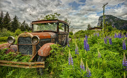 Abandoned Old Car in Purple Lupine Field Royalty Free Stock Photography