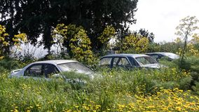Abandoned old retro cars in the grass with yellow flowers in Cyprus royalty free stock image