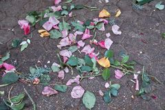 Abandoned rose on pavement. Garbage rose petals, stems and leaves left over on pavement ground, spread without pattern at end of market day. Concept of finality royalty free stock photo