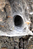 Abandoned spider nest in tree trunk Stock Image