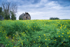 Abandoned stable  in a middle of canola flowering field Royalty Free Stock Photos