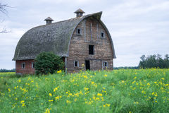 Abandoned stable  in a middle of canola flowering field Royalty Free Stock Images