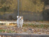 Abandoned street dog. Street dog abandoned victim of animal abuse Stock Image
