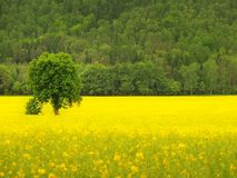 Abandoned tree in the spring yellow field of blooming rapes, the hill on the horizon Royalty Free Stock Photography