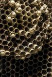 Abandoned Wasp hive cells macro shot Stock Photo