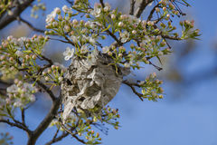 Deserted Wasp Nest in Spring,Light Blue Stock Photos