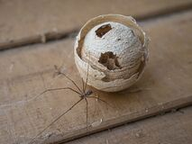 Abandoned wild wasp swarm beehive and a spider.