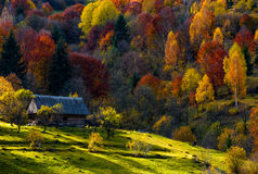 Abandoned wooden house in autumn forest. Cow grazing on a meadow near abandoned wooden house in autumn forest. beautiful rural scenery on sunny sunset Royalty Free Stock Images