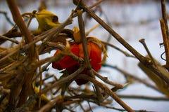 Abandonné, seul, défraîchi, rose de rouge en hiver dans la neige Photographie stock libre de droits