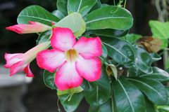 Abandonnez adenium rose de fleur de Rose Tropical le bel dans le jardin Photos stock