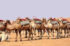 Chameaux dans le désert Image libre de droits