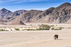 Abandonnez l'éléphant marchant dans sec vers le haut de la rivière de Hoanib en Namibie Photographie stock