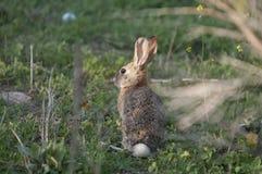 Abandonnez l'audubonii de Sylvilagus de lapin de lapin dans le pré Image stock
