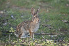 Abandonnez l'audubonii de Sylvilagus de lapin de lapin dans le pré Photo libre de droits