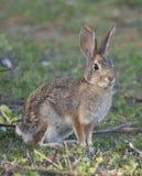 Abandonnez l'audubonii de Sylvilagus de lapin de lapin dans le pré Photo stock