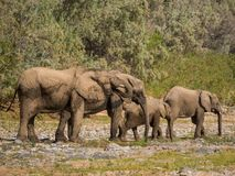 Abandonnez la famille d'éléphant buvant du magma de l'eau dans le lit de rivière de Hoarusib, Namibie, Afrique méridionale Photo libre de droits