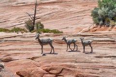 Abandonnez la famille de mouflons d'Amérique en Zion National Park, Utah - Etats-Unis Images libres de droits