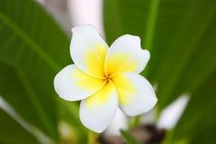 Abandonnez la fleur de Rose Tropical sur un arbre, ou la fleur de lis d'impala Photo stock