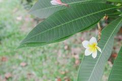 Abandonnez la fleur de Rose Tropical sur un arbre, ou la fleur de lis d'impala Images stock