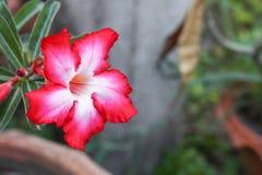 Abandonnez la fleur de Rose Tropical sur un arbre, ou la fleur de lis d'impala Image stock