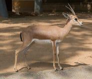 Abandonnez la gazelle-dorkas dans un zoo de Barcelone, Espagne Photographie stock libre de droits