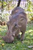 Abandonnez la phacochère, aethiopicus de Phacochoerus, dans le pair de ressortissant de Hwange Photo stock