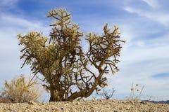 Abandonnez la végétation de l'itinéraire aménagé pour amateurs de la nature de Bajada, Joshua Tree National Park, Etats-Unis Photos stock