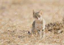 Abandonnez le chat sur une chasse au parc national de désert près de Jaisalmer Images libres de droits