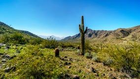 Abandonnez le paysage avec le Saguaro et les cactus de baril grands le long du sentier de randonnée de Bajada dans les montagnes  Photo libre de droits