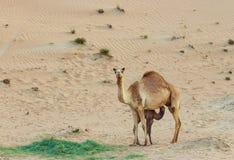 Abandonnez le paysage avec le veau de chameau de bébé alimentant sur le chameau de mère dans le désert, Dubaï Fond de safari de v Photos stock