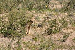 Abandonnez le renard en La Luna, Argentine de Valle De Photo libre de droits
