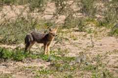 Abandonnez le renard en La Luna, Argentine de Valle De Photos stock