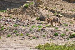 Abandonnez le renard en La Luna, Argentine de Valle De Images libres de droits