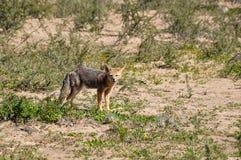 Abandonnez le renard en La Luna, Argentine de Valle De Images stock