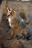 Abandonnez le renard se reposant sur l'environnement naturel de roches Images libres de droits