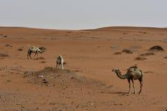 Abandonnez le sable et libérez les chameaux, au coeur de l'Arabie Saoudite sur le chemin à Riyadh Photographie stock libre de droits
